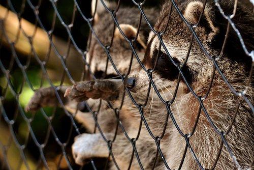 raccoon  begging  wild animal