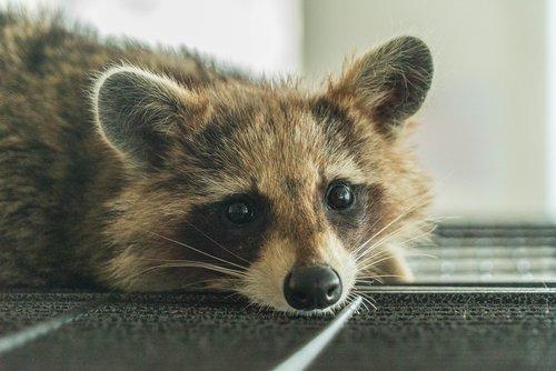 raccoon  cafe  animal