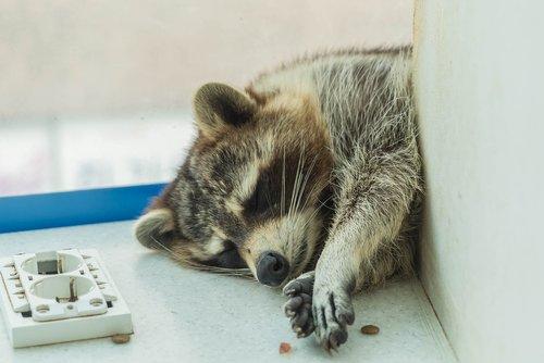 raccoon  mammals  lassitude
