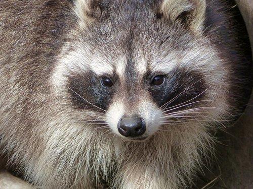 raccoon  zoo  osnabrück