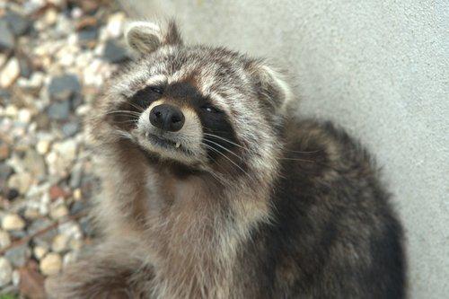 raccoon  bear  cheeky