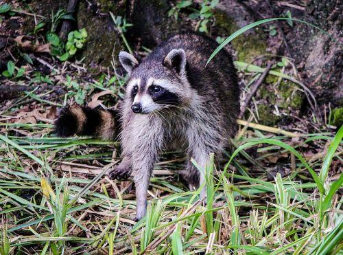 raccoon coon north american raccoon