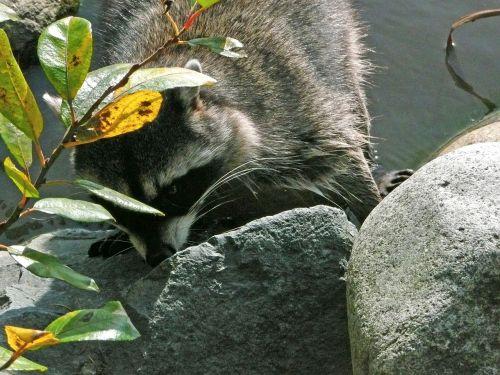 raccoon animal wildlife