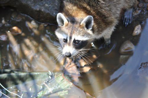 raccoon common raccoon procyon lotor