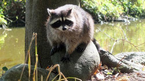raccoon vancouver canada