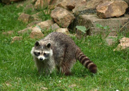 raccoon animal fur