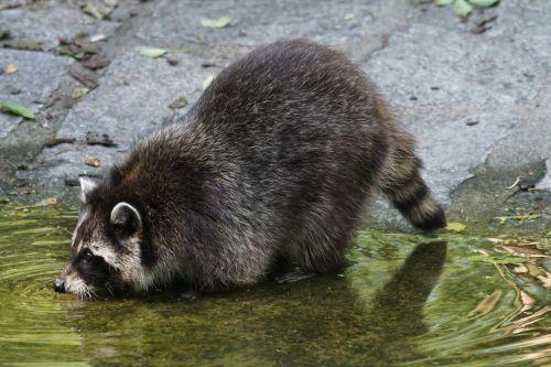 raccoon predator thirsty