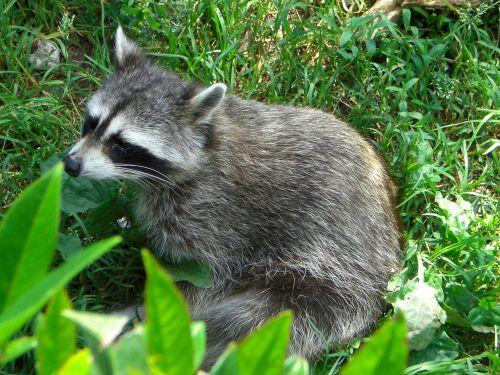 raccoon zoo green