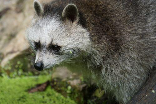 raccoon foraging zoo