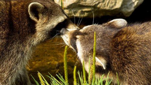 raccoon animal mammal
