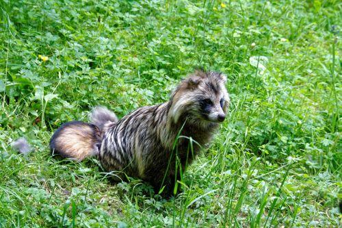 raccoon dog tanuki enok