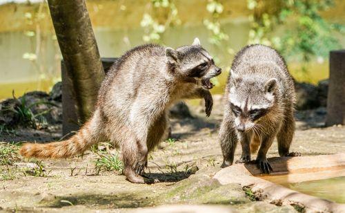 raccoons playing animal