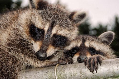 raccoons cute curious