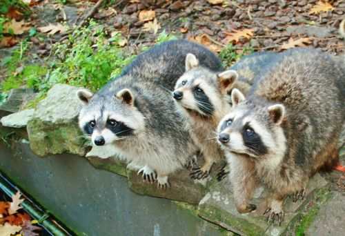 raccoons mammals drinking raccoons