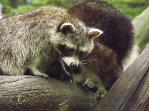 raccoons bear mammals