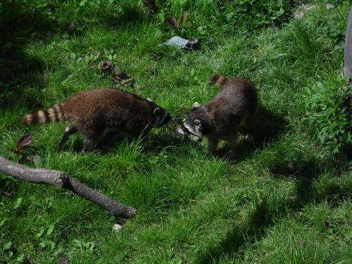 raccoons meadow raccoon