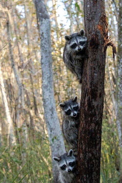 raccoons  nola  new orleans