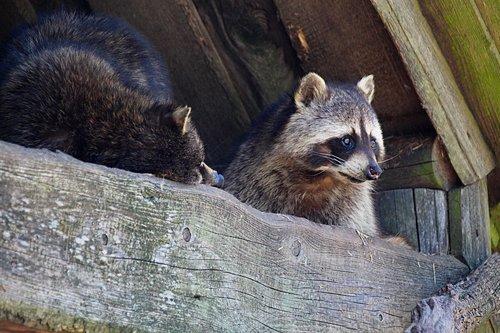 raccoons  zoo  raccoon