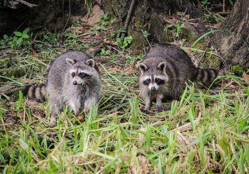 raccoons coon north american raccoon