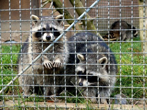 raccoons enclosure animals