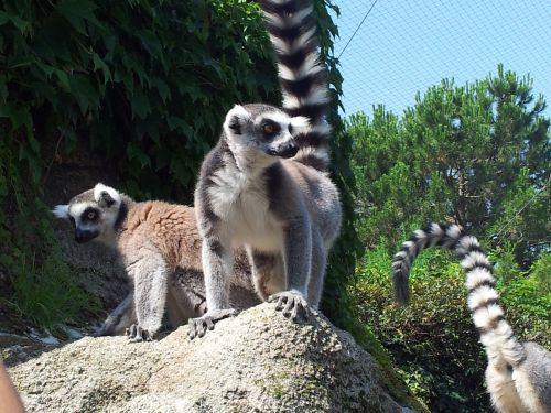 raccoons animals park