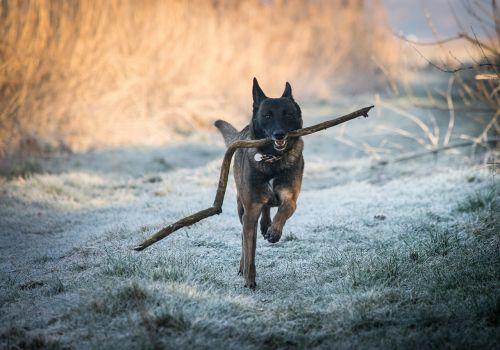 race malinois belgian shepherd dog