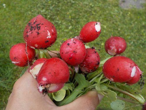 radish pink vegetables