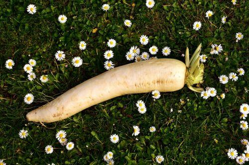 radish raphanus white
