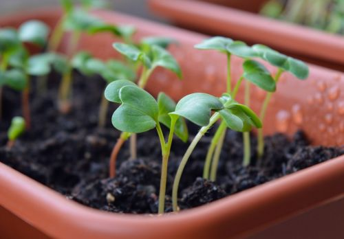 radish sprouts seedling seedlings