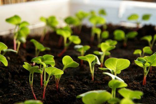 ridikai,augalas,skonis,daržovės,auginimas,maistas,lapai,kresas,Reduko kresas
