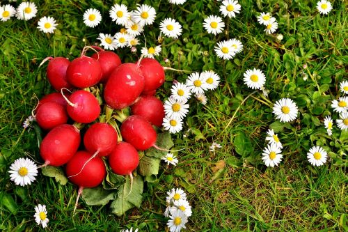 ridikai,ridikėliai,daržovės,maistas,valgyti,parduoti šviežias daržoves,Daisy,pieva