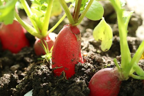 radishes  vegetables  cultivation