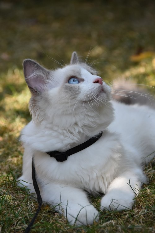 ragdoll  cat  pet