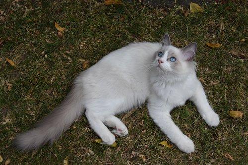 ragdoll  cat  pet