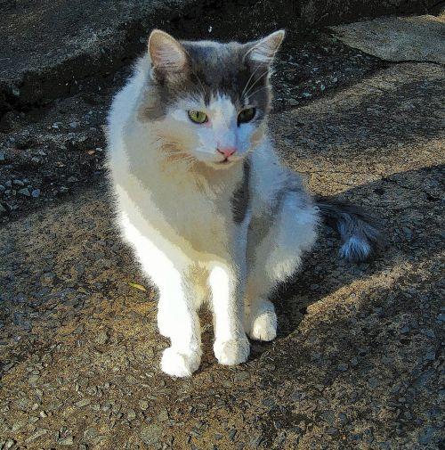 Ragdoll Cat With Green Eyes