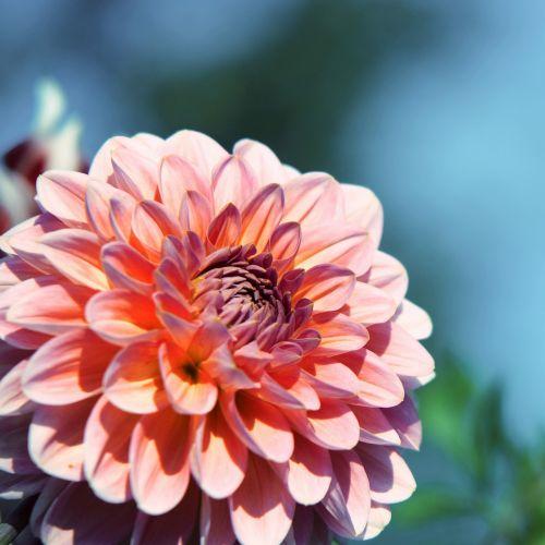 raghavendra purple purple flower