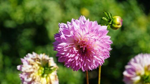raghavendra,violetinė,violetinė,violetinė gėlė,purpurinės gėlės,augalas,vasara
