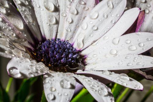 osteospermum ecklonis cape basket rain