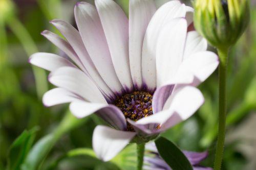 makro,osteospermumo ecklonis,viršukalnės krepšys,bornholm marguerite,balta,violetinė,marguerite,žiedas,žydėti,gėlė,gamta,augalas,žydėti,Uždaryti