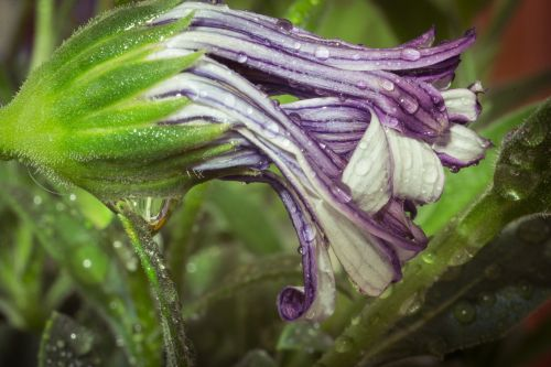 macro osteospermum ecklonis cape basket