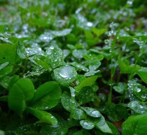rain trefoil clover