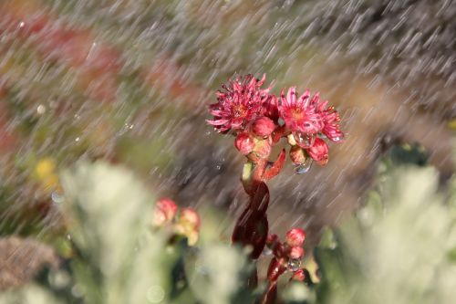 rain wurz blossom