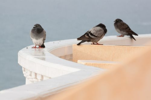 rain pigeons wet