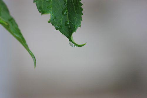 Rain Droplet On A Leaf