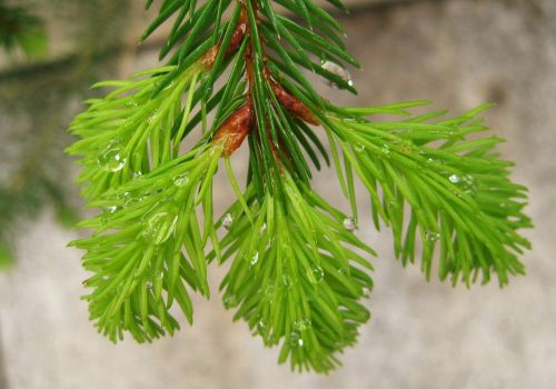 rain droplets fir sprout green