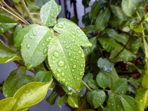 Rain Drops Of Ficus Leaves