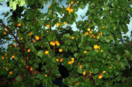 Rain On Apricot Tree