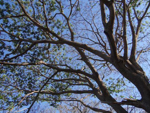 rain tree tree monkeypod