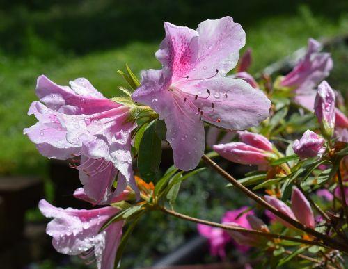 rain-wet azalea rain drops azalea