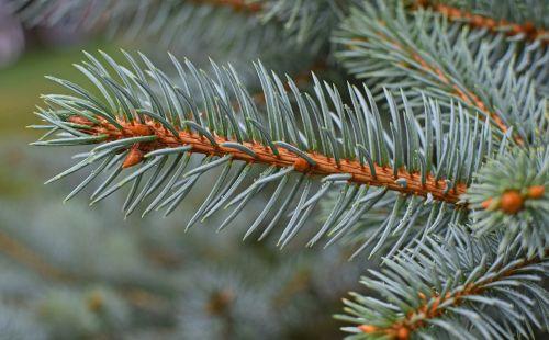 rain-wet blue spruce cones forming rain-wet